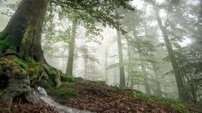 Mountain spring flowing out of the forest ground under a large tree. Misty forest scenery with spring water flowing out of the ground under the roots of a stock footage