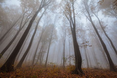 Misty forest shoot at wide angle Royalty Free Stock Photo