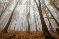 Misty forest shoot at wide angle Stock Photography