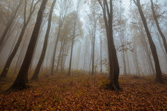 Misty forest shoot at wide angle Royalty Free Stock Image