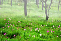 Misty forest with Siam Tulip flowers Stock Image