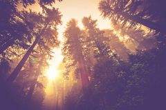 Misty Forest Trail. Magic Redwood Forest Scenery in Warm Vintage Color Grading Royalty Free Stock Photo