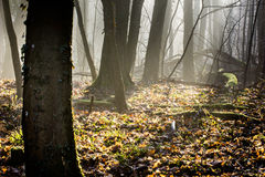 Misty forest in winter Royalty Free Stock Photo