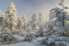 Misty winter forest  Stock Photos