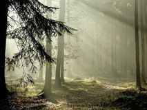 Free Misty Forest With Early Morning Sun Rays Royalty Free Stock Photo - 9059225