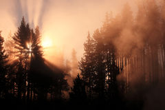 Misty Forest With Sunrise Yellowstone Royalty Free Stock Photo