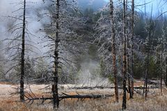 Misty forest  Yellowstone Wyoming, United States. Royalty Free Stock Photo