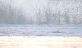 Misty and Frosty landscape with red fox (Vulpes vulpes) Stock Photography