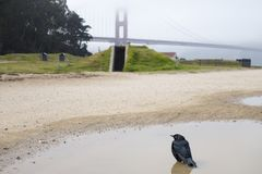 Misty golden gate bridge with blackbird in water puddles stock photo