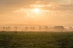 Misty Golden Sunrise over Weiland met Koeien en Vogels royalty-vrije stock afbeeldingen