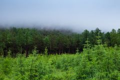 Misty green forest, the fog over the trees. Siberian taiga, 4k, time lapse. Misty green forest, the fog over the trees. Smoke in the woods. Forest fires Royalty Free Stock Image