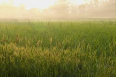 Misty green land. Land covered with green crop of wheat in a typical Indian farm on a misty morning Royalty Free Stock Image