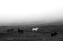 Misty Horses. Horses in a misty meadow of Northern Iceland Royalty Free Stock Photos