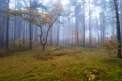 Misty landscape in the forest. Misty forest in foggy weather in Poland Stock Photography