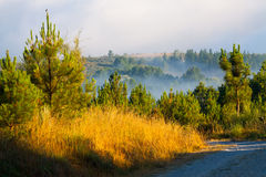 Misty landscape with pine forest Stock Photos