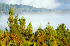 Misty landscape with pine forest Stock Photo