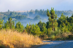 Misty landscape with pine forest Royalty Free Stock Photography