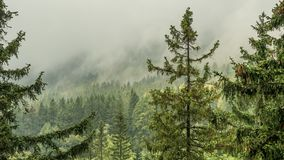 Free Misty Landscape With Fir Forest. Stock Image - 163568331