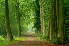 Misty lanes of trees in a green spring forest in Kalmthout. Flanders royalty free stock photo