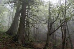 misty lasu. Zdjęcie Stock