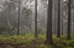 Misty late summer in coniferous stand Stock Images