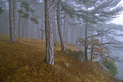 Misty light. Misty forest with bright sunlight Royalty Free Stock Photo