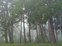 Misty Light Through Mountain Pines i tjock dimma arkivbild