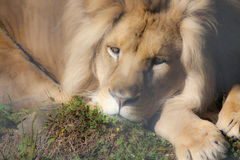Misty  lion Royalty Free Stock Photography