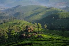 Misty Lockhart Tea Park and estate in the early morning, Munnar, Kerala, India. Lockhart Tea Park is a tea valley located in the Munnar-Thekkedy road in Munnar Stock Photo