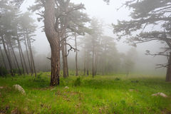 Misty mood. Beautiful mysterious foggy forest under dull sky with green grass on the ground stock image