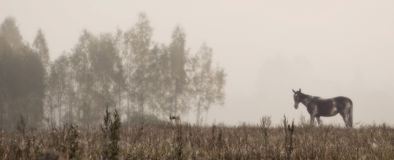 Misty morning. Panoramic landscape with horse in fog stock photos