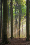 Misty morning. Misty forest photographed in the morning early autumn. Sun rays cross the picture stock image