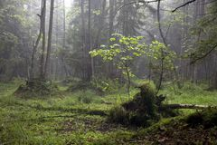 Misty morning in alder-carr stand Stock Photos