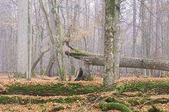 Misty morning in autumnal forest royalty free stock photography