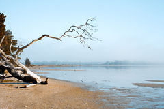 Misty morning on beach. Dead tree trunk by the beach on a misty morning in Tasmania royalty free stock photography