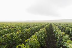 Misty Morning Campagne Vineyard Verzernay Photo libre de droits