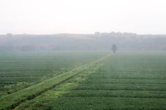 Misty morning crop field with tree and crop lines. Field of green crops in the misty morning with trench and tree Stock Image