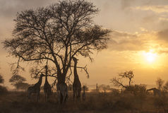 Misty morning with giraffes Stock Images