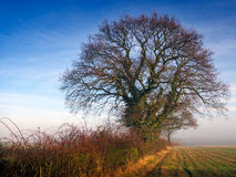 Misty morning hedgerow Royalty Free Stock Image