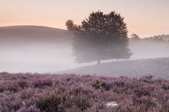Misty morning on hills with flowering heather Stock Images