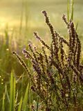 Misty morning on a meadow with autumnal plants. Plants on a misty meadow in the magic light of the rising sun. Shot in autumn, early morning scene Royalty Free Stock Photography