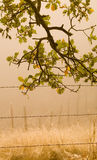 Misty Morning Oak Royalty Free Stock Photo