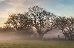 Misty morning oak trees in winter. Three oak trees on a misty morning, sunrise in winter. the sun is rising to the left of the trees, their are birds roosting Royalty Free Stock Photos