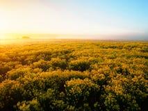 Misty Morning på våren blommafält Royaltyfri Bild