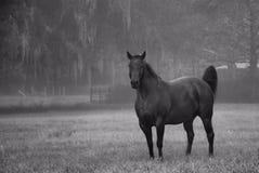 Misty Morning Stallion in B&W Stock Foto