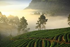 Misty morning in strawberry garden at Doi Ang Khang Chiang Mai Thailand stock photo