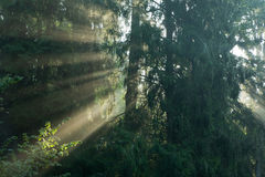 Misty morning with sunbeam entring forest Stock Photos
