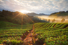 Misty morning sunrise in strawberry garden at Doi Ang-khang Stock Photography