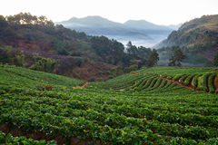 Misty morning sunrise in strawberry garden at doi angkhang Royalty Free Stock Image