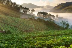 Misty morning sunrise in strawberry garden, View of Morning Mist at doi angkhang Mountain stock photos